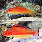 Melanesian Hooded Wrasse (Pair) (click for more detail)