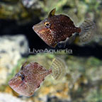 ORA® Captive-Bred Whitespotted Pygmy Filefish (Bonded Pair) (click for more detail)