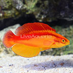 Flame Wrasse Terminal Phase Male (click for more detail)