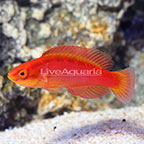 Flame Wrasse Female (click for more detail)