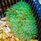 Bubble Tip Anemone Green  (click for more detail)