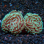 Aussie Branching Hammer Coral  (click for more detail)