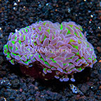 Aussie Reverse Stem Hammer Coral (click for more detail)