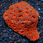 Aussie Micromussa Coral (click for more detail)