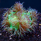Aussie Elegance Coral  (click for more detail)