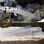 Sleeper Striped Goby (Bonded Pair) (click for more detail)