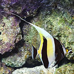 African Moorish Idol EXPERT ONLY  (click for more detail)