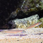 Greenband Sleeper Goby (Bonded Pair) (click for more detail)