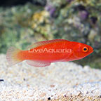 Magma Wrasse Initial Phase (click for more detail)