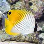 Fijian Aberrant Auriga Butterflyfish (click for more detail)