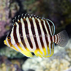 Marshall Islands Multibar Angelfish EXPERT ONLY (click for more detail)