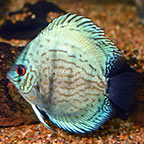 Cobalt Discus [Blemish] (click for more detail)