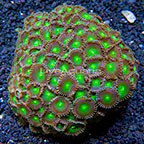 Green People Eater Colony Polyp Rock Zoanthus Indonesia IM (click for more detail)