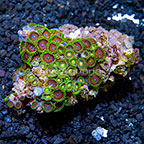 Wham'n Watermelon and Green Bay Packers Colony Polyp Rock Zoanthus Indonesia IM (click for more detail)