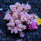 Aussie Cespitularia Coral  (click for more detail)