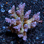 Bushy Acropora Coral Tonga (click for more detail)