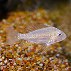 Albino Heckelii Cichlid (click for more detail)