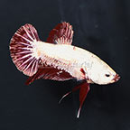 Roundtail Plakat Betta, Male (click for more detail)