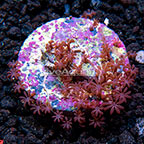 USA Cultured Daisy Polyps (click for more detail)