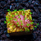 TCN Aussie Crown Leather Coral (click for more detail)