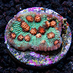 USA Cultured Ultra Chalice Coral (click for more detail)