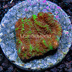 USA Cultured Merulina Coral (click for more detail)