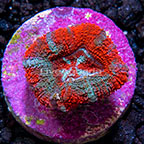 USA Cultured Ultra Micromussa Coral (click for more detail)