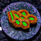 USA Cultured Ultra Micro Favia Coral (click for more detail)