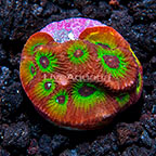 USA Cultured Flame Boy Favia Coral (click for more detail)