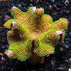Aussie Toadstool Mushroom Leather Coral (click for more detail)