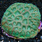 Goniastrea Brain Coral Indonesia (click for more detail)
