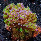 Reverse Stem Branching Hammer Coral Indonesia (click for more detail)