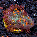 Chalice Coral Combo Indonesia (click for more detail)
