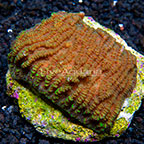 Merulina Coral Indonesia (click for more detail)