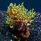 Aussie Sinularia Finger Leather Coral  (click for more detail)