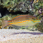 Orange Line Wrasse EXPERT ONLY (click for more detail)