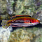 Katherine's Fairy Wrasse Terminal Phase Male (click for more detail)