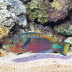 Quoyi Parrotfish Terminal Phase Male (click for more detail)