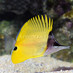 Longnose Butterflyfish (click for more detail)