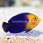 ORA® Captive-Bred Pygmy Cherub Angelfish (click for more detail)