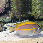 Bellus Angelfish Male [Blemish] (click for more detail)