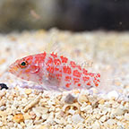 Geometric Pygmy Hawkfish  (click for more detail)