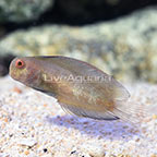 Black Sailfin Blenny (click for more detail)