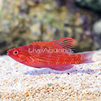 Blue Flasher Wrasse Terminal Phase Male (click for more detail)