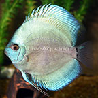 Powder Blue Discus (click for more detail)