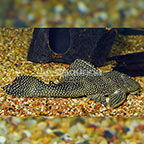 Galaxy (L-029) Plecostomus (click for more detail)