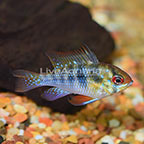 German Blue Ram Cichlid EXPERT ONLY (click for more detail)