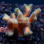 ORA® Green Tip Orange Birdsnest Coral (click for more detail)
