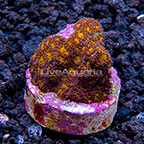 LiveAquaria® Orange Eye Leptastrea Coral (click for more detail)