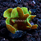 ORA® Mint Pavona Coral (click for more detail)